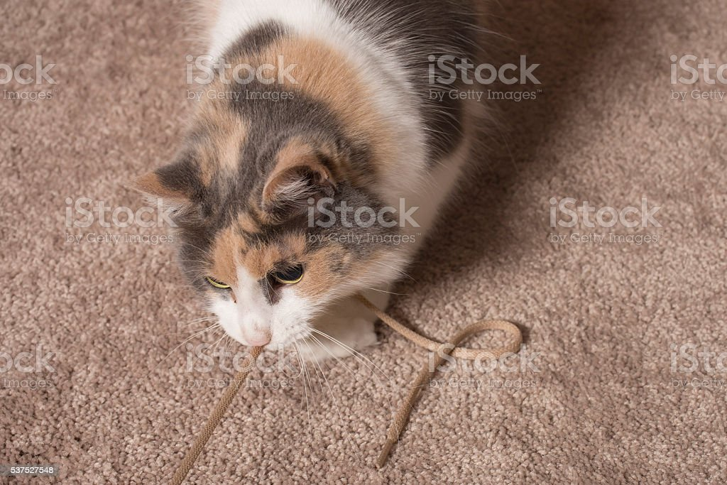 Cat playing with string stock photo