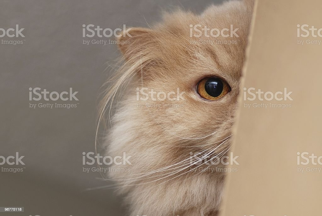 Cat plays hide and seek royalty-free stock photo
