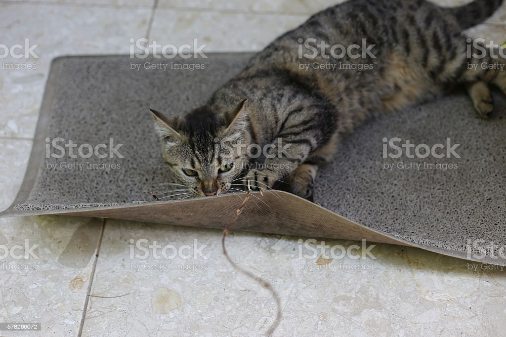 Cat Plays Wildly on a Doormat. stock photo