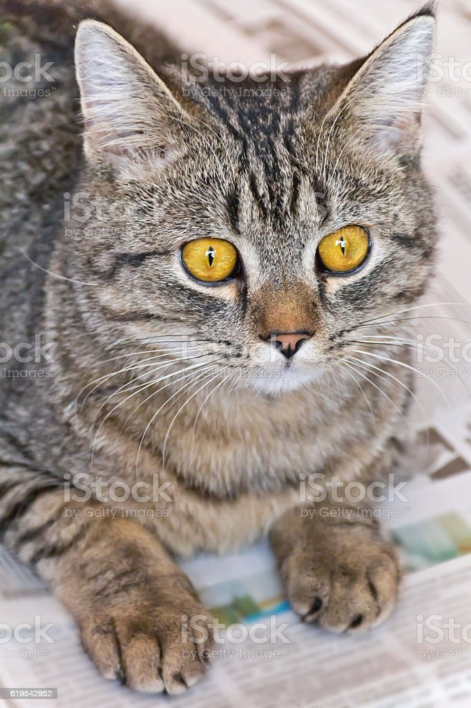 Cat portrait with yellow eyes stock photo