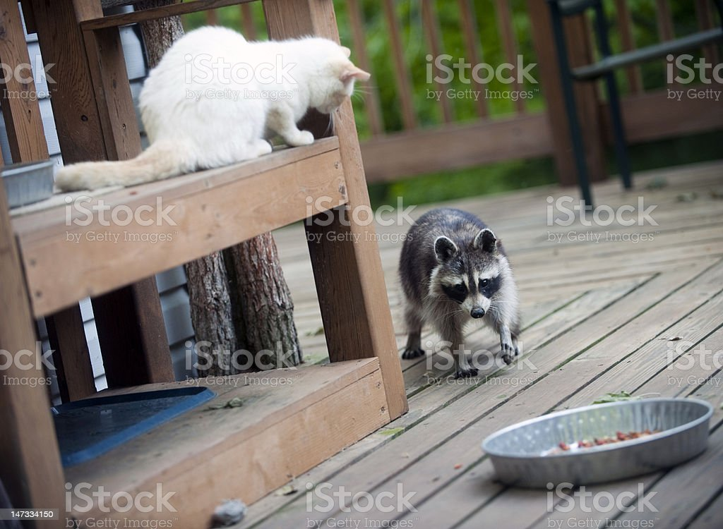 Cat ready to pounce on raccoon stock photo