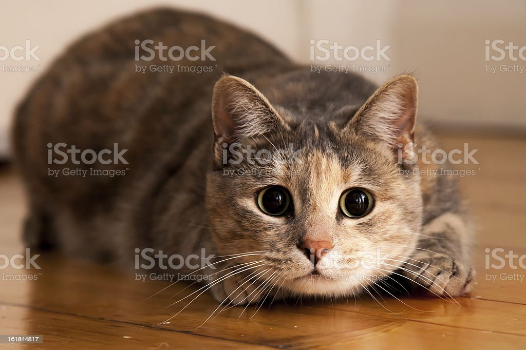 Cat Ready to Pounce stock photo