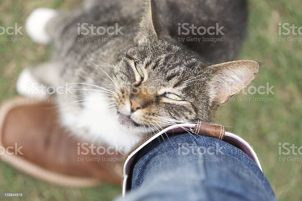Cat rubbing against leg affectionately stock photo