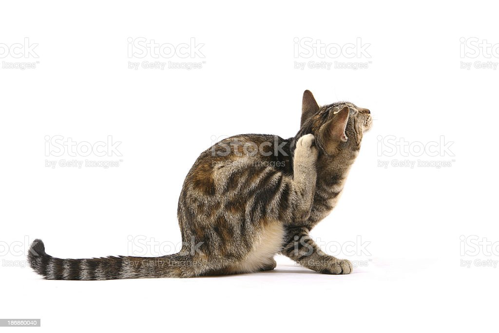 Cat Scratching Fleas royalty-free stock photo