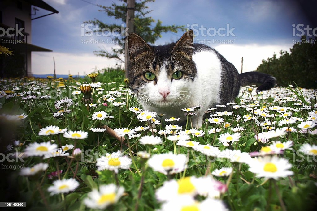Cat Sitting and Looking in Field of Flowers royalty-free stock photo