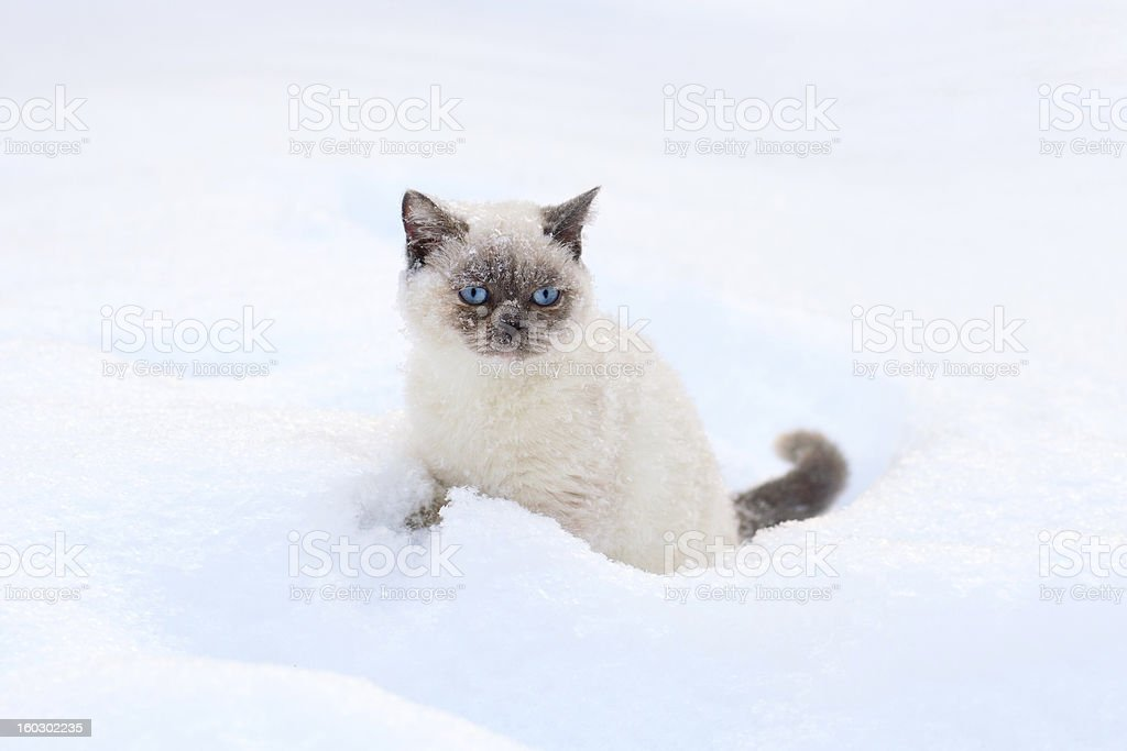 Cat sitting in snow royalty-free stock photo