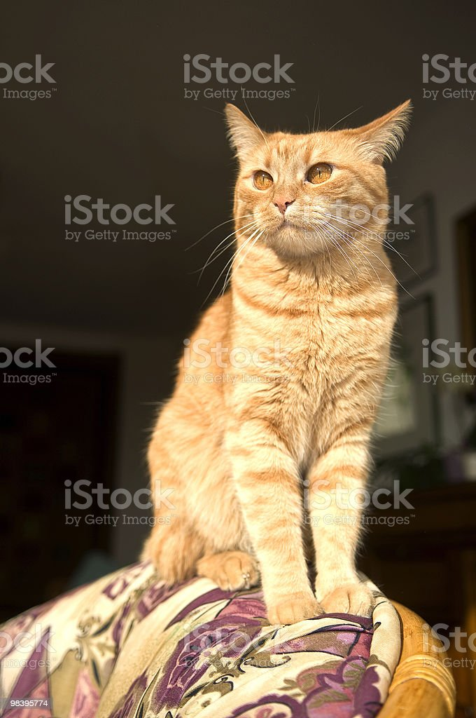 Cat Sitting on Chair royalty-free stock photo