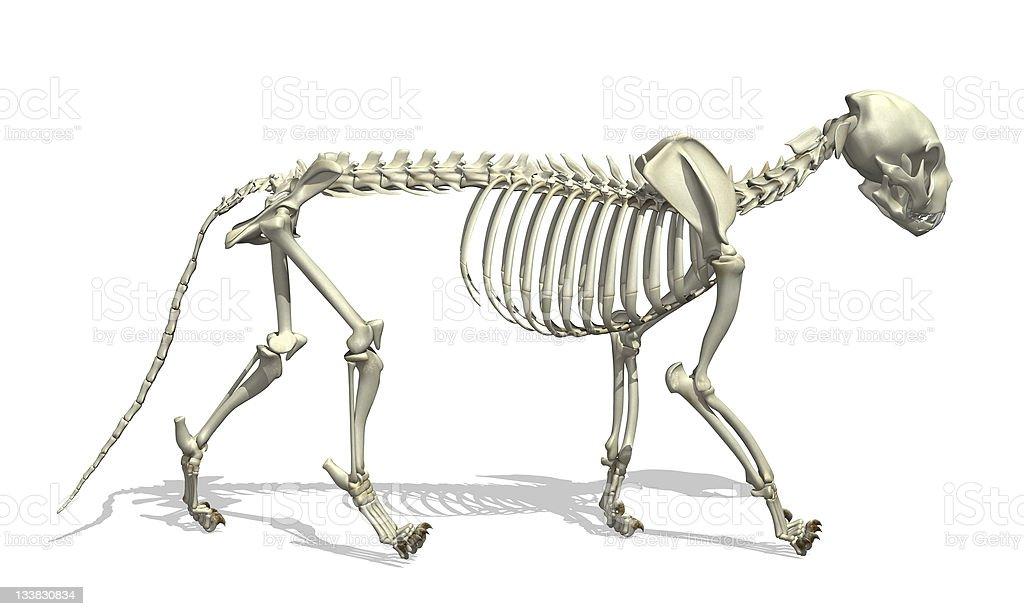 Cat Skeleton royalty-free stock photo