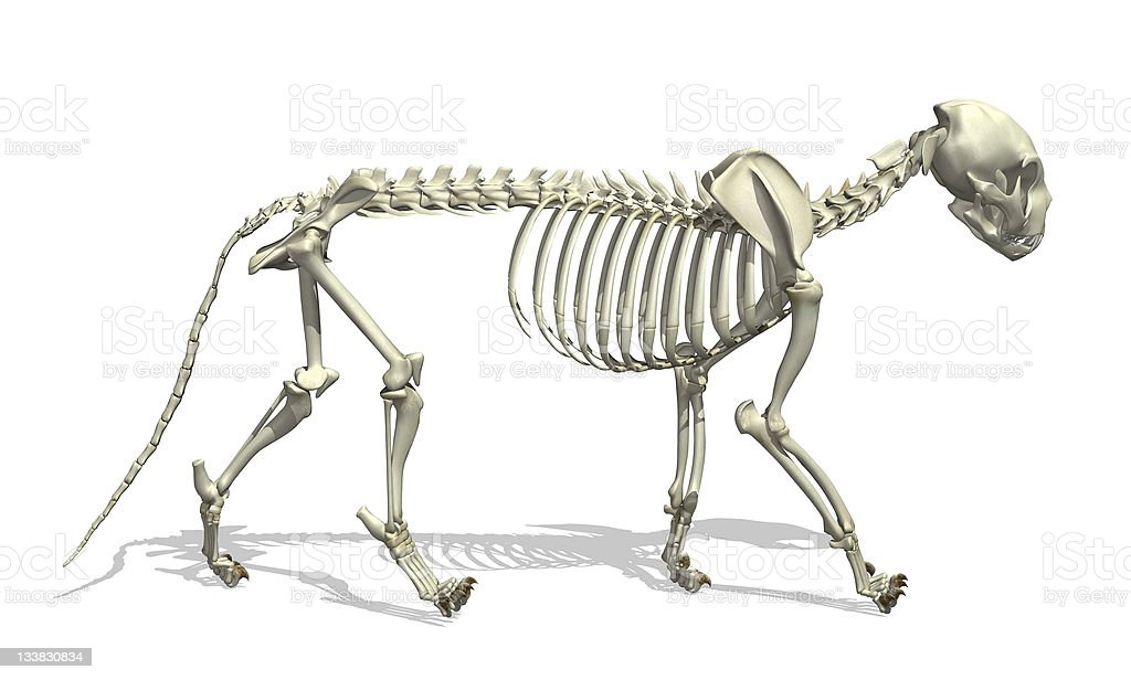 Cat Skeleton stock photo