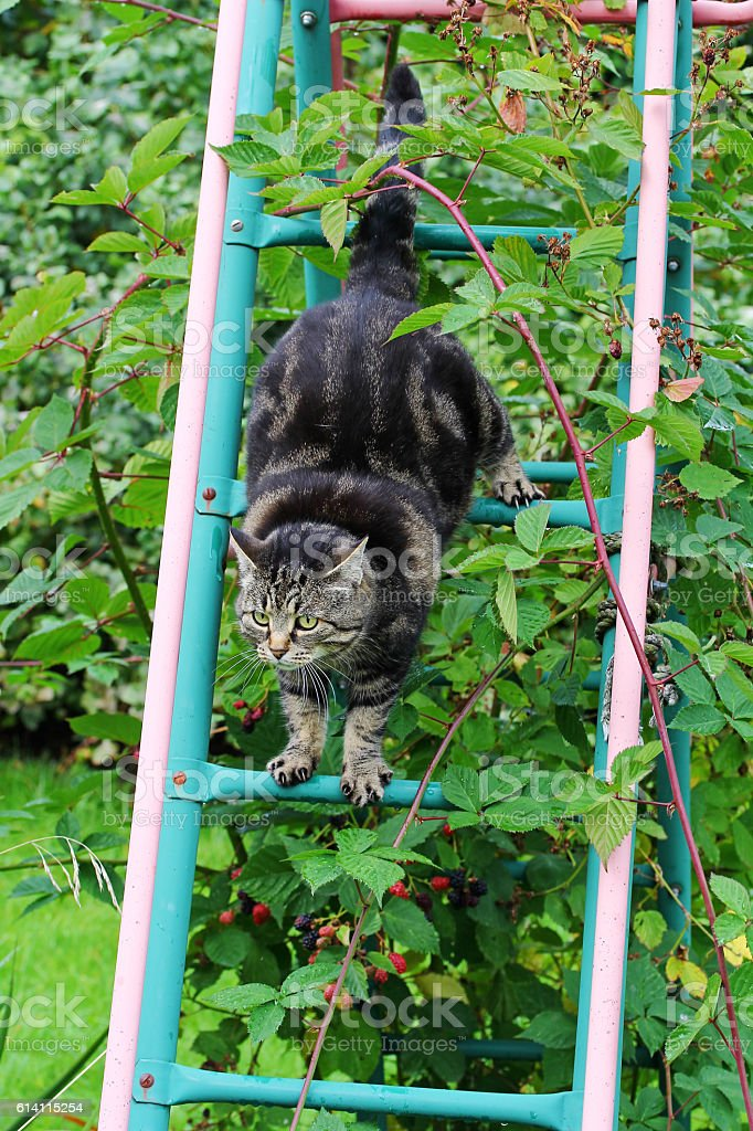 cat skilfully climbs a ladder up and down again stock photo