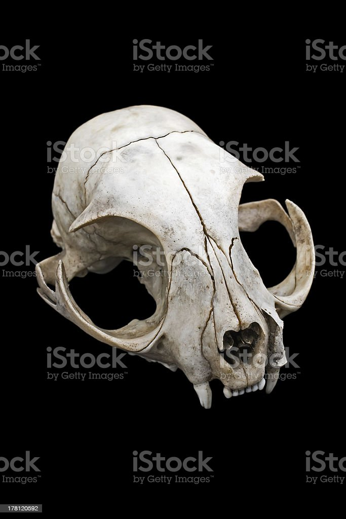 Cat skull royalty-free stock photo