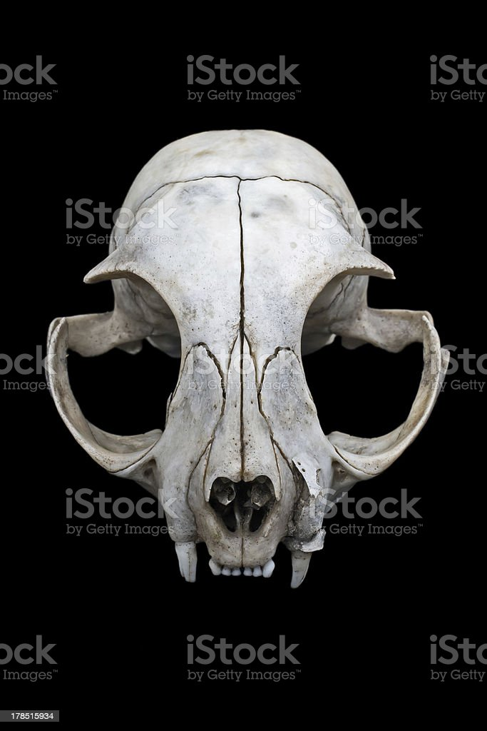 Cat skull royalty-free stock photo