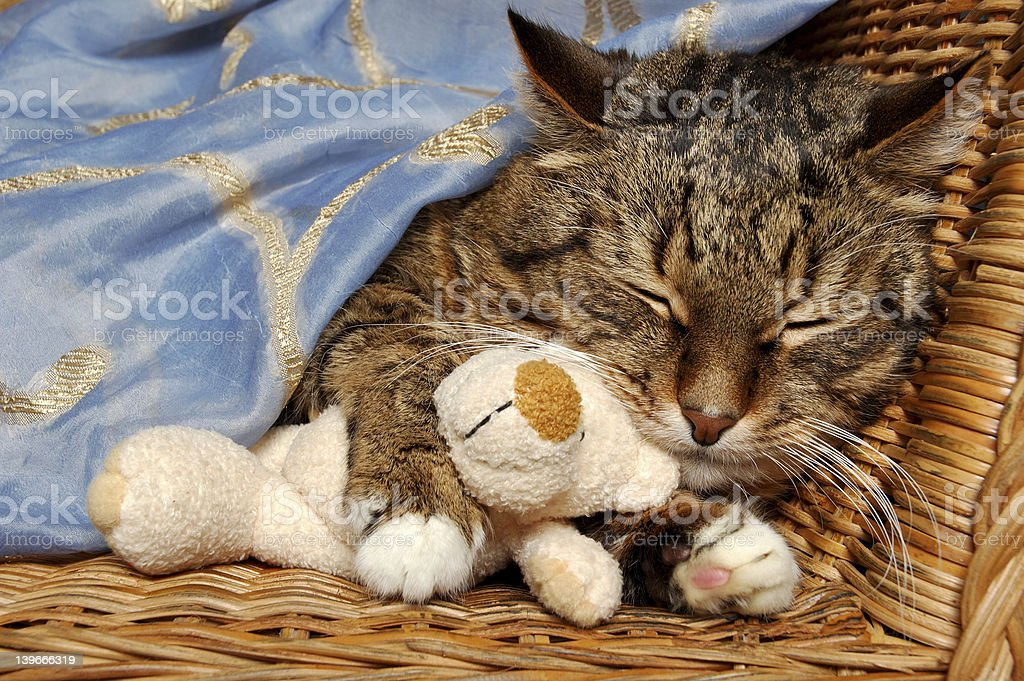 cat sleep with bear stock photo