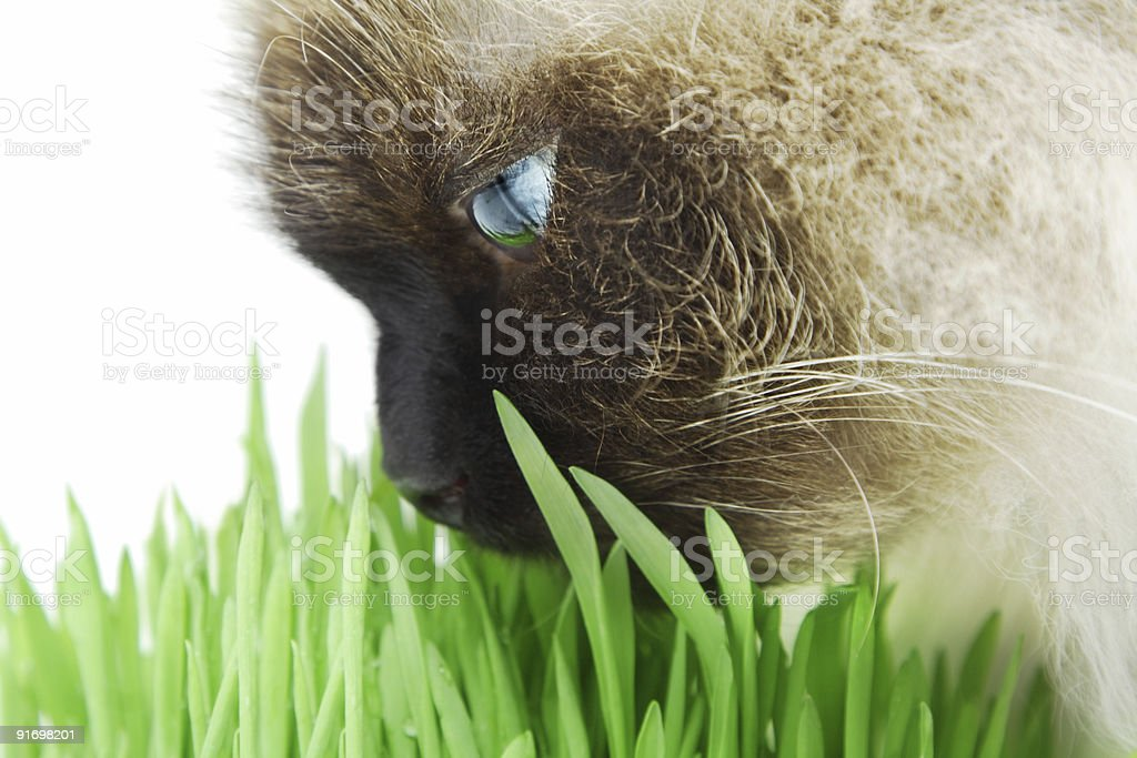 Cat smelling a green grass royalty-free stock photo