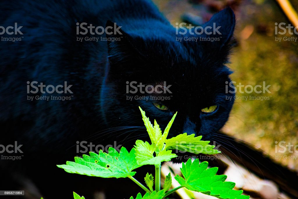 cat sniffing catnip royalty-free stock photo