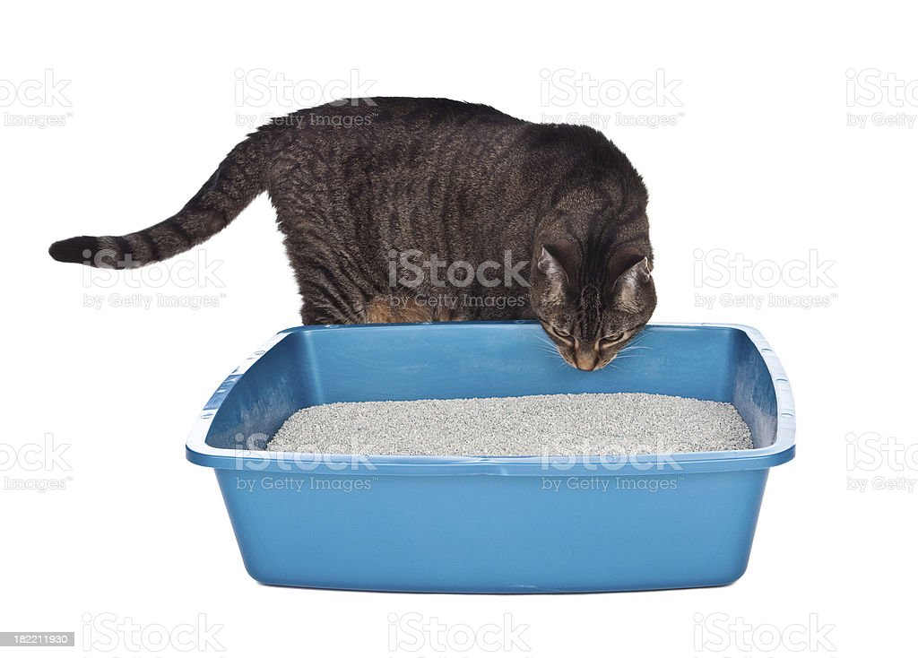 Cat Sniffing Litter Box royalty-free stock photo