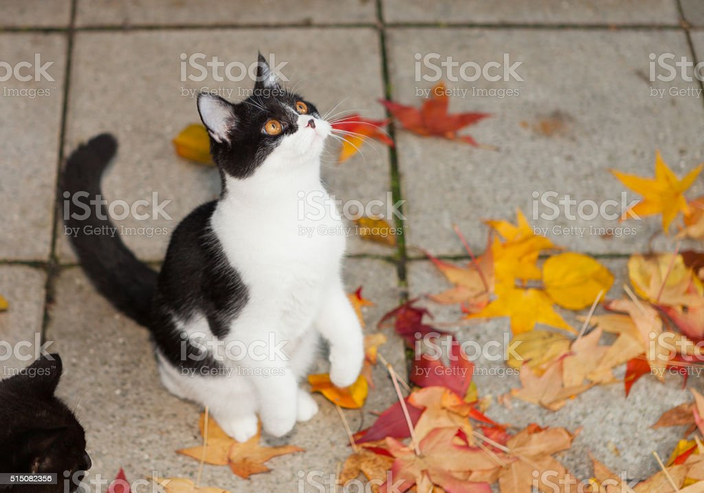cat standig up within coloful autumn leaves stock photo