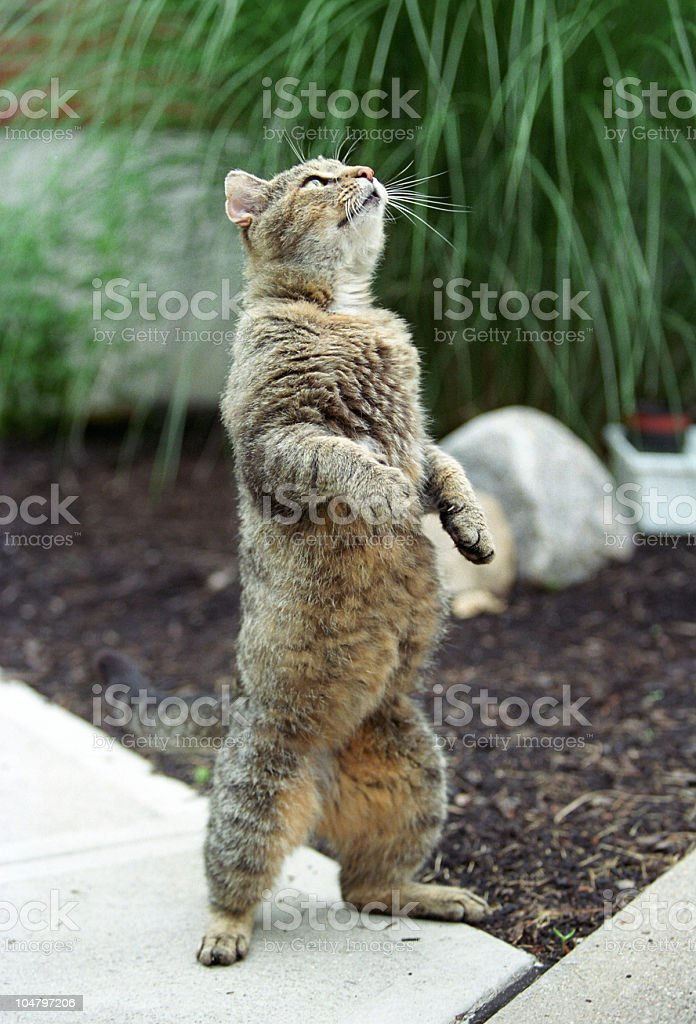 Cat standing on its hind legs on stone stock photo