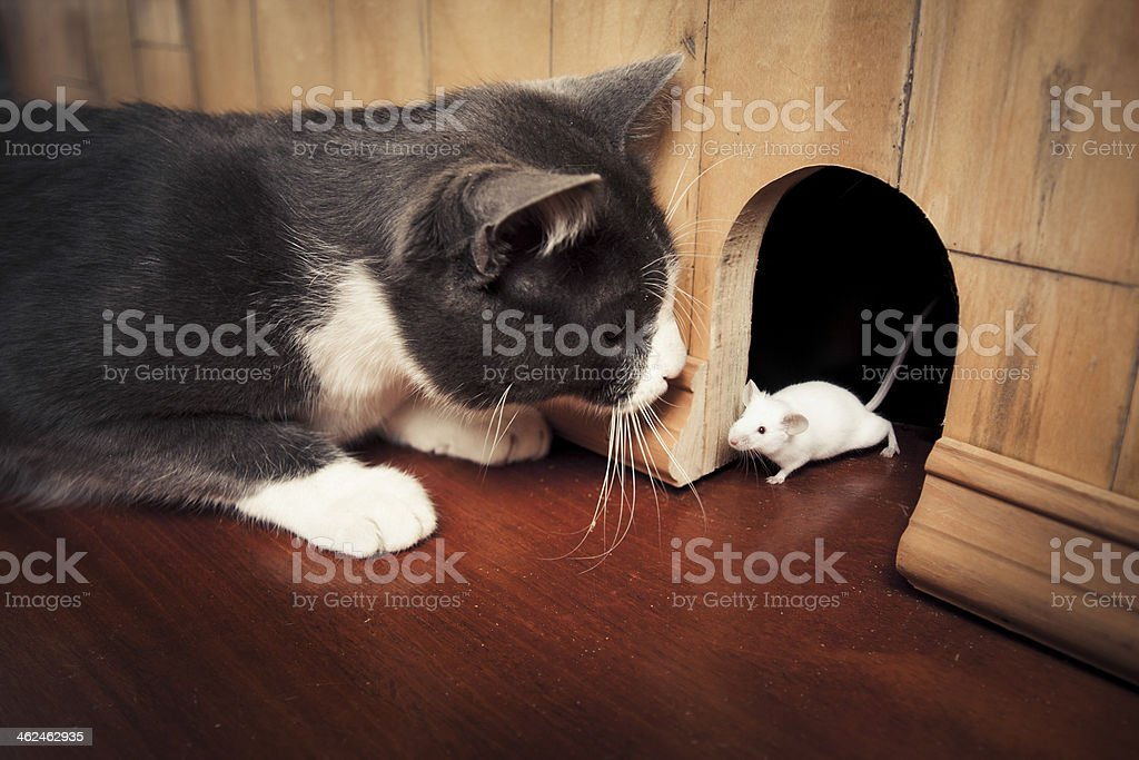 Cat staring at a mouse coming out of it's hole stock photo