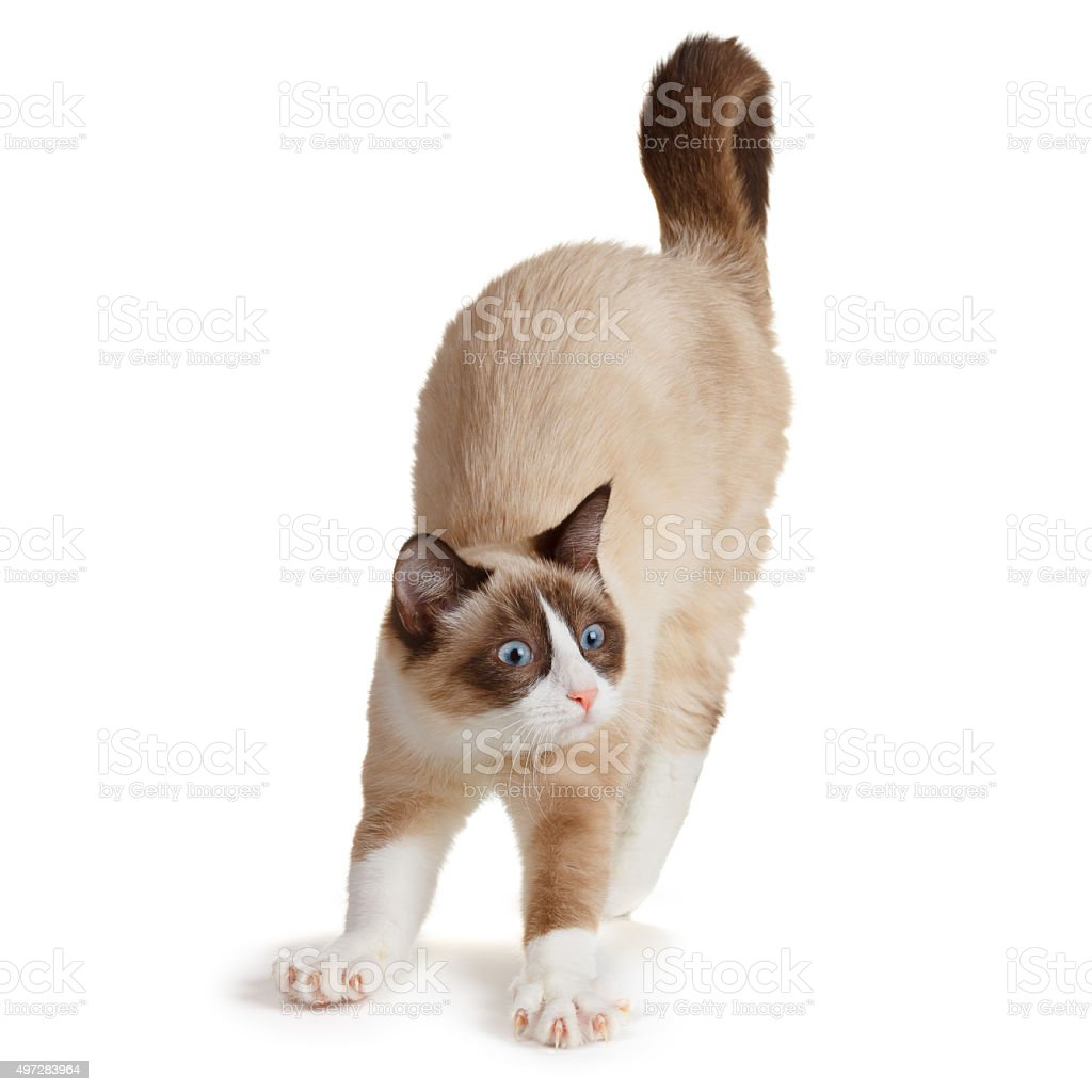 Cat stretching, isolated on white stock photo