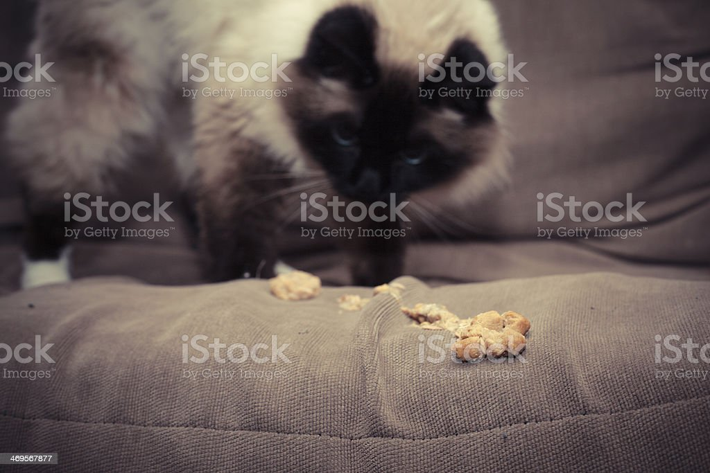Cat throwing up furball on sofa stock photo