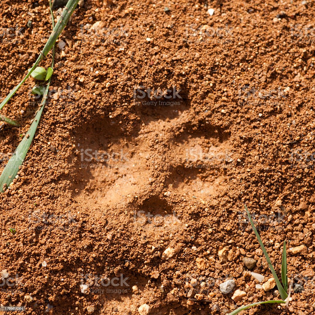 Cat Track in Wet Mud royalty-free stock photo