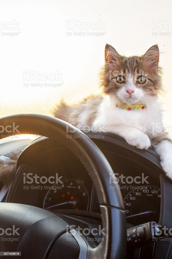 Cat traveling in a car stock photo