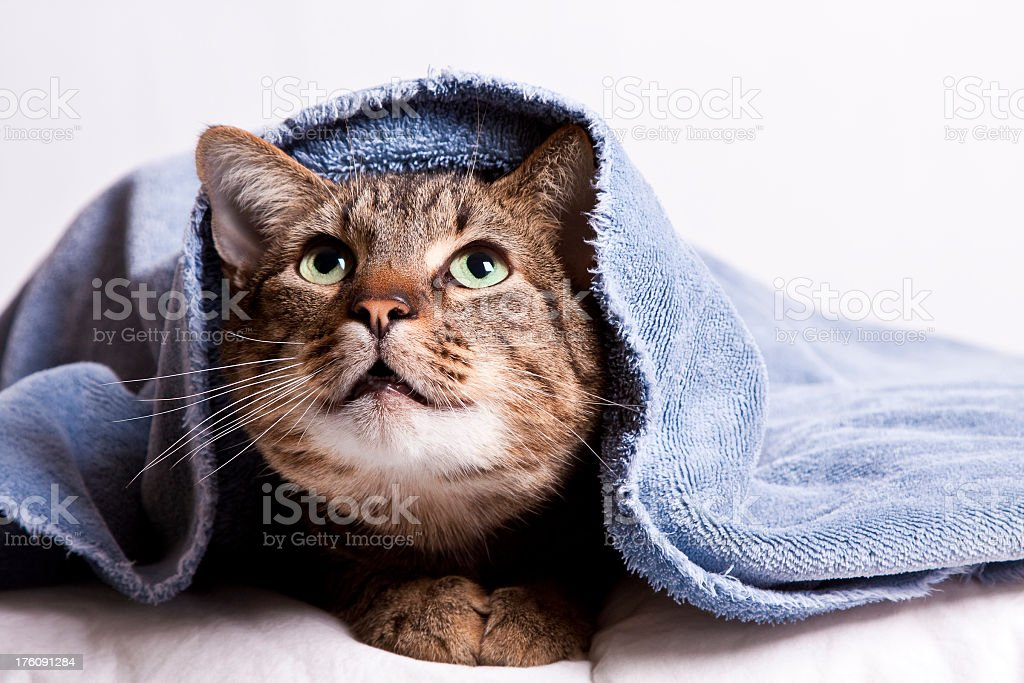cat under blue towel royalty-free stock photo