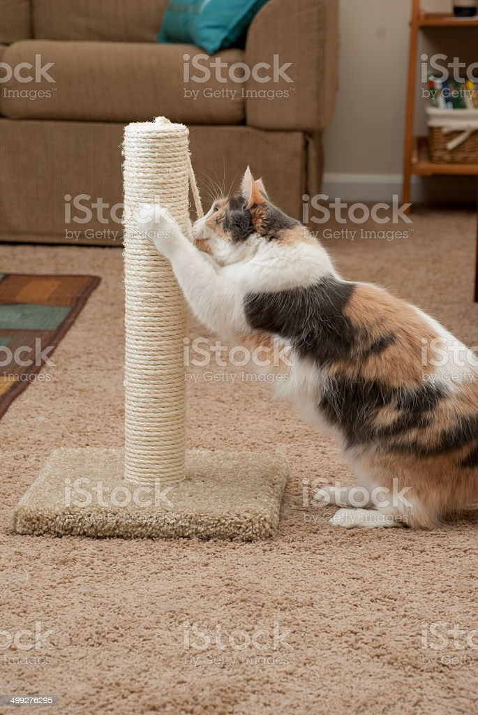 Cat using scratching post, showing room stock photo
