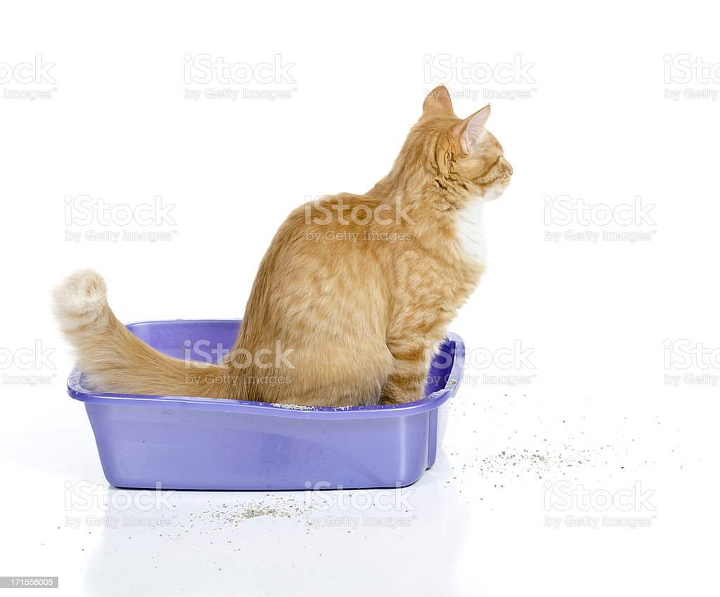 Cat Using the Litter Box stock photo