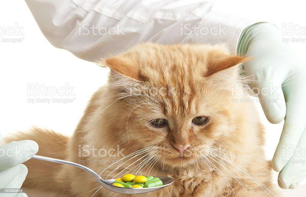 cat veterinary animal hand pet white