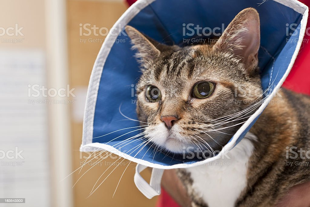Cat Waits With Collar on After Procedure in Animal Hospital stock photo