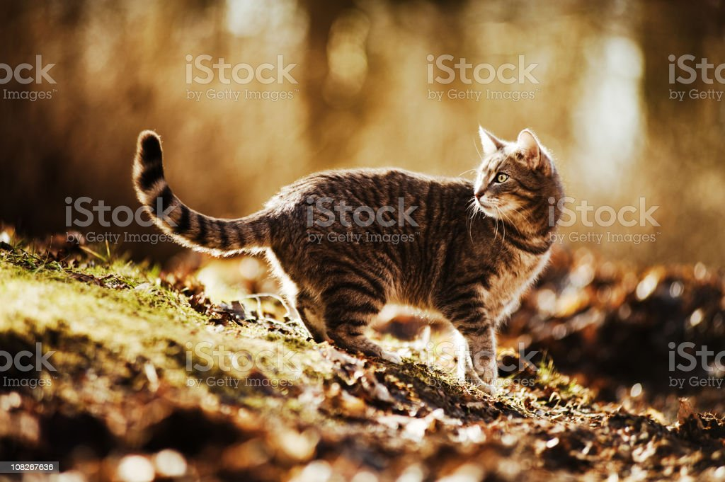 Cat Walking Outside royalty-free stock photo