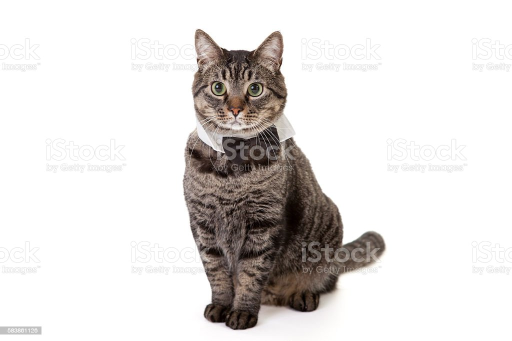 Cat Wearing Bowtie stock photo