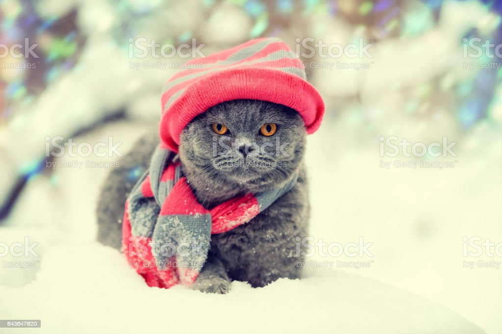 Cat wearing knitting hat and scarf in snowy winter stock photo