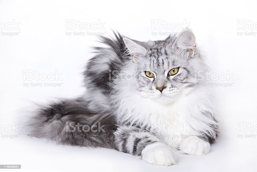 Cat, White-silver Maine Coon stock photo