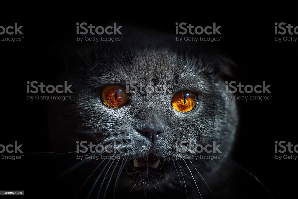 cat wild glance bulging eyes and open mouth stock photo