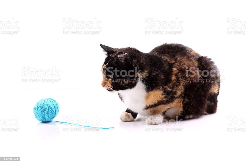 cat with a blue wool royalty-free stock photo