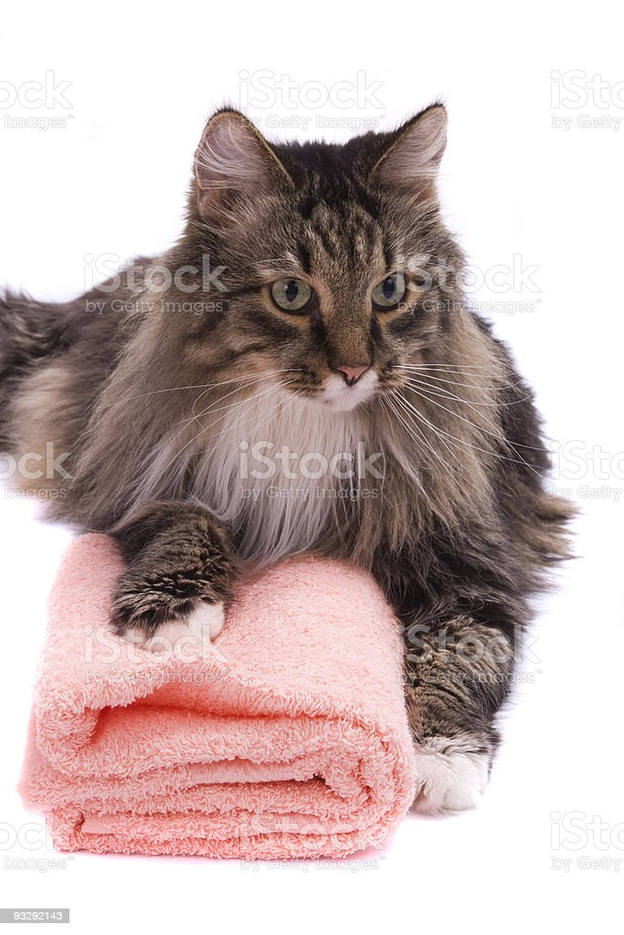 Cat with bath towel. royalty-free stock photo
