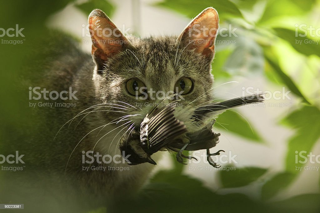 Cat with bird in a teeth. royalty-free stock photo