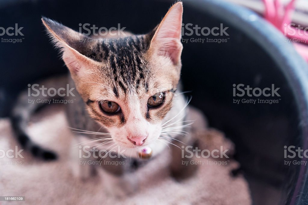 A cat with black stripes in a litter box stock photo