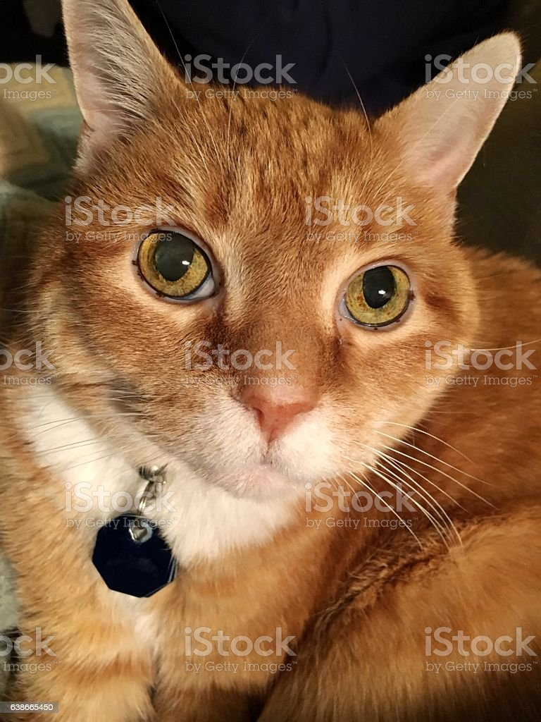 Cat with blank identification tag stock photo