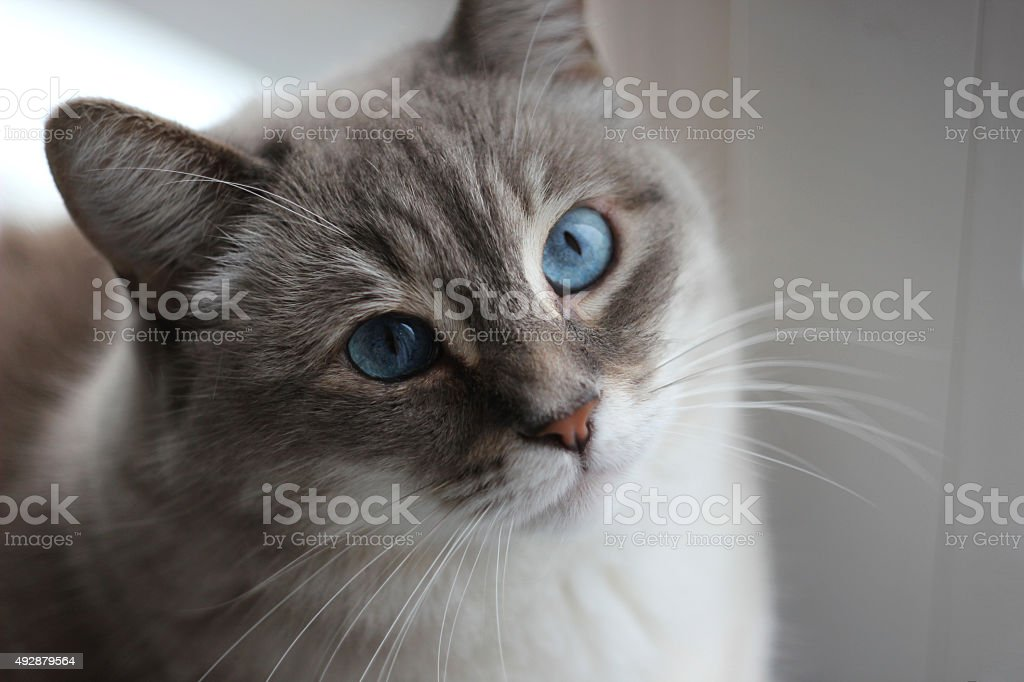 Cat with blue eyes stock photo