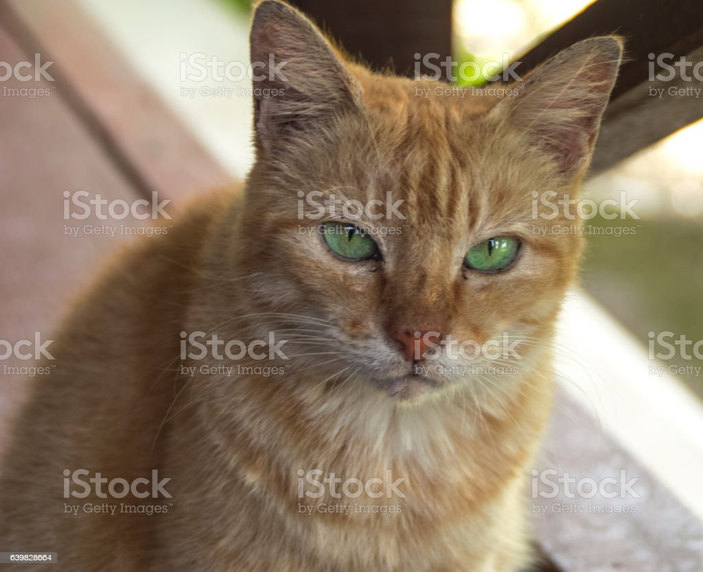 Cat with bright green eyes stares at you stock photo