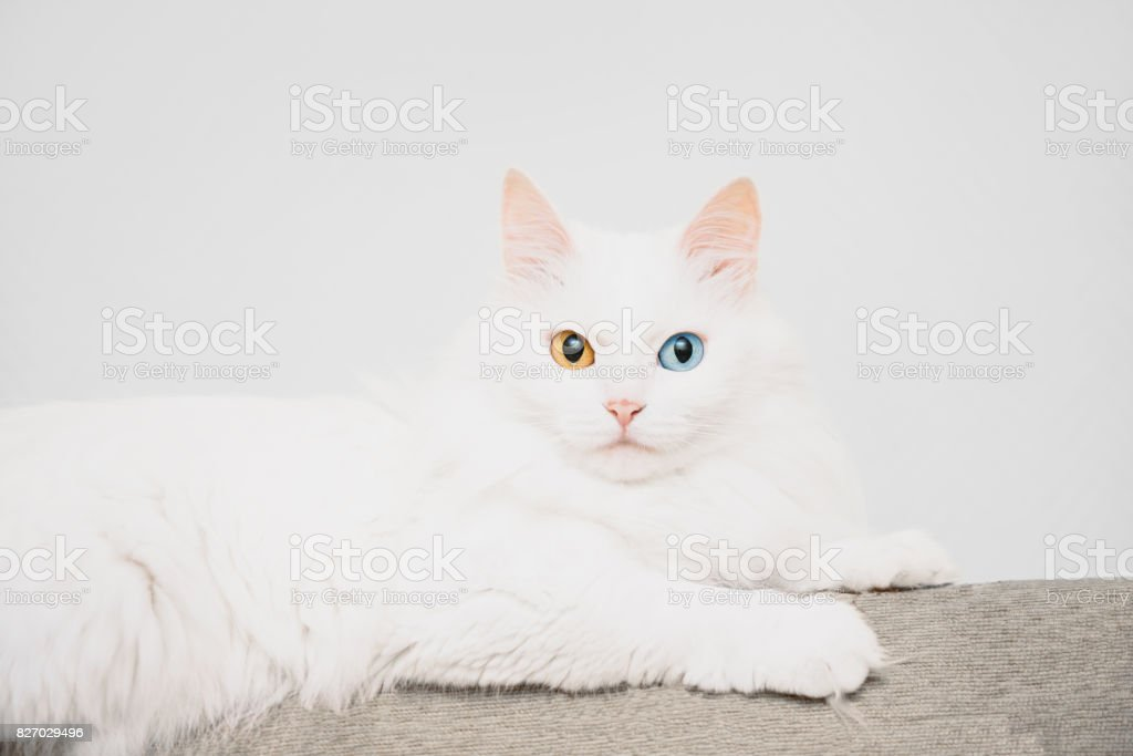 Cat with different colored eyes. stock photo