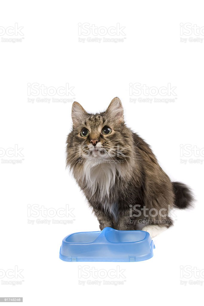 Cat with empty bowl cadge meal. stock photo