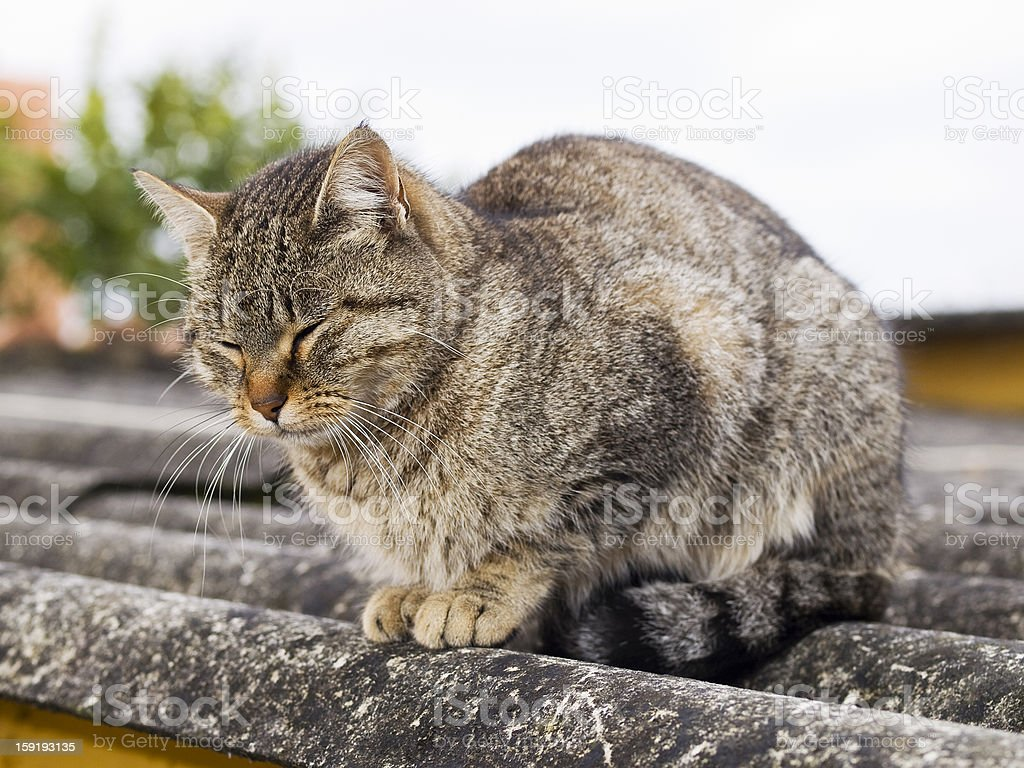 Cat with eyes closed royalty-free stock photo