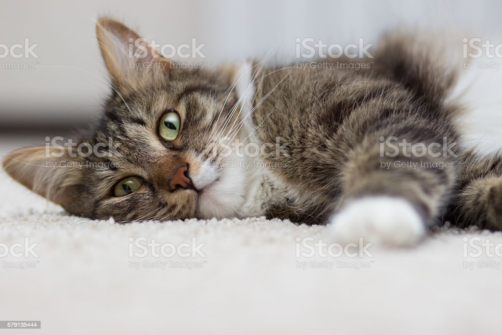 cat with green eyes lying on the carpet stock photo