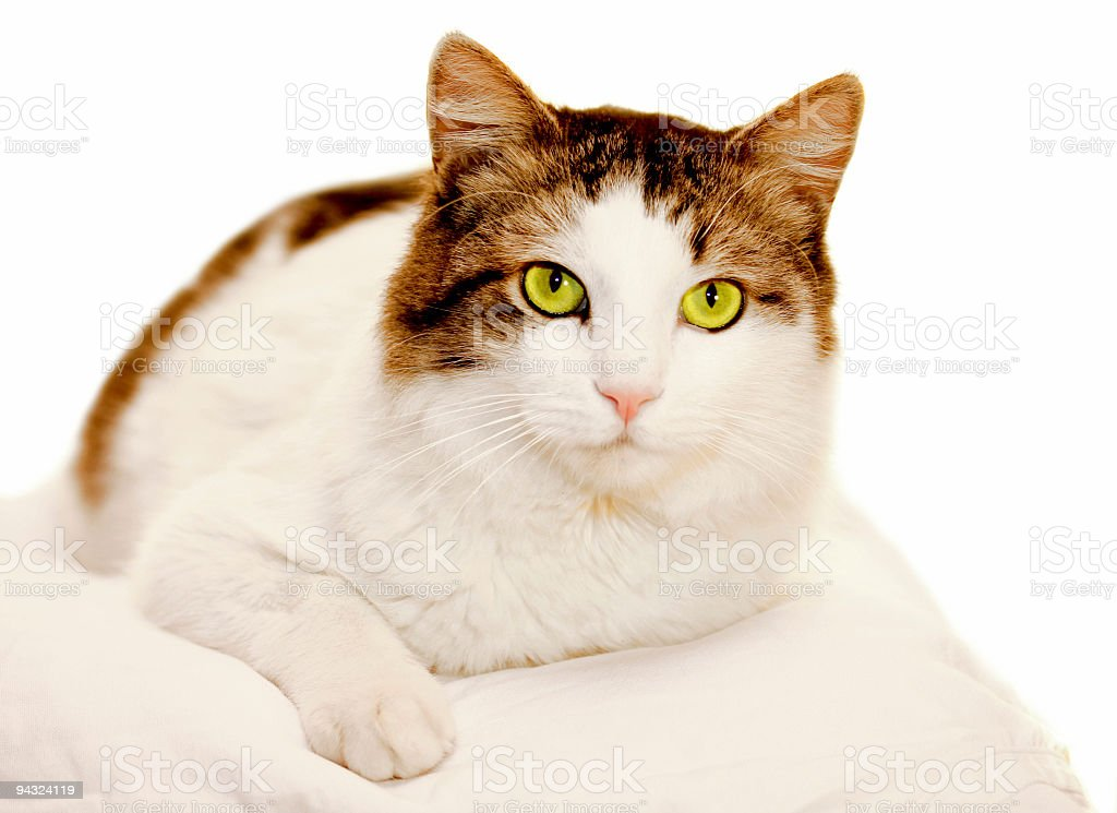 Cat with green eyes over white royalty-free stock photo