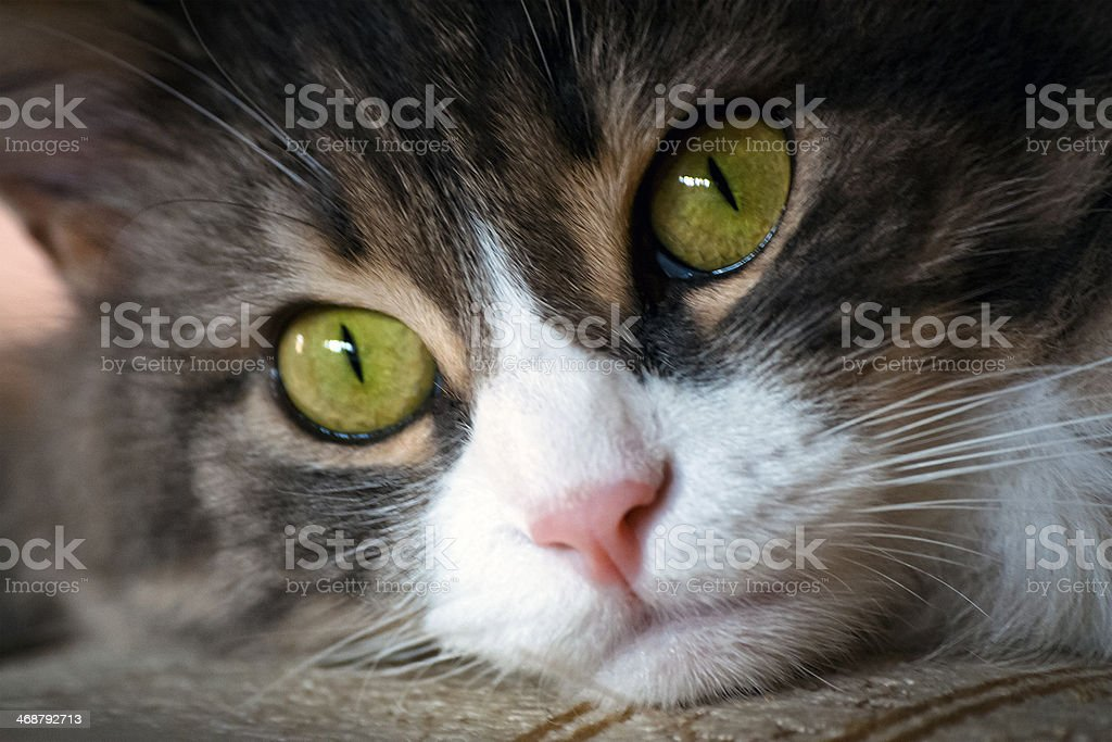 Cat with green eyes royalty-free stock photo